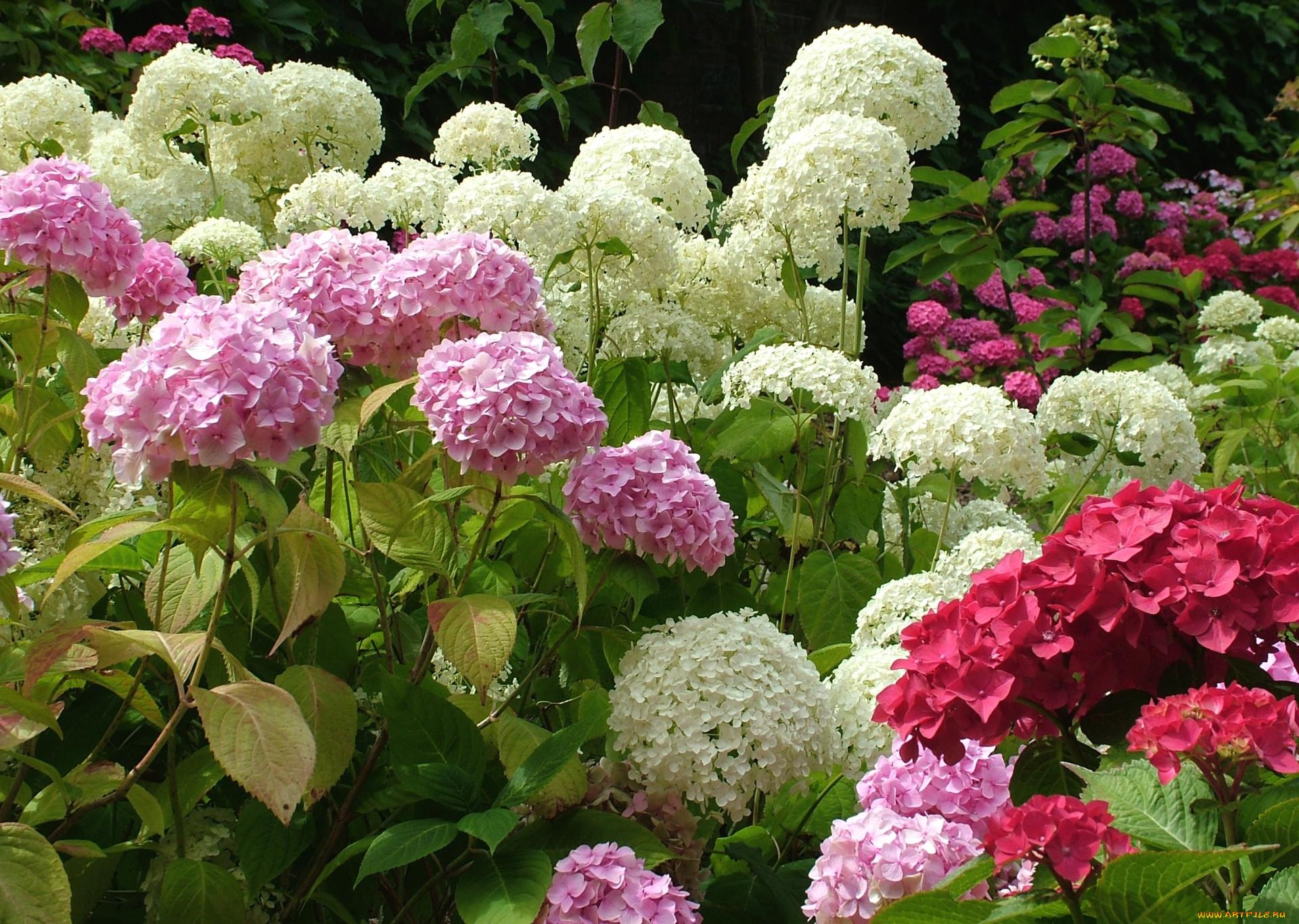 Гортензия фото цветов кустовая